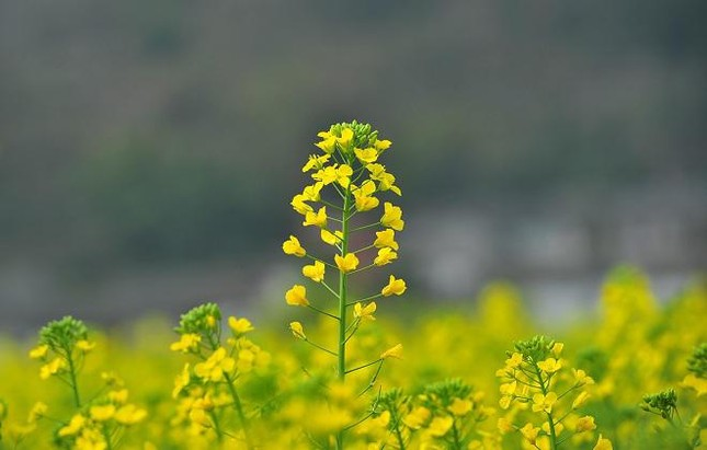 Những địa điểm chụp hoa cải đẹp tại Hà Nội giới trẻ phải biết ảnh 7
