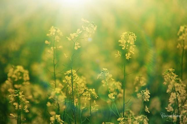 Những địa điểm chụp hoa cải đẹp tại Hà Nội giới trẻ phải biết ảnh 8