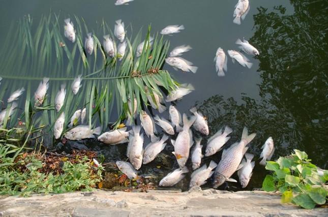 Đà Nẵng: Cá chết trắng hồ công viên 29/3 ảnh 1