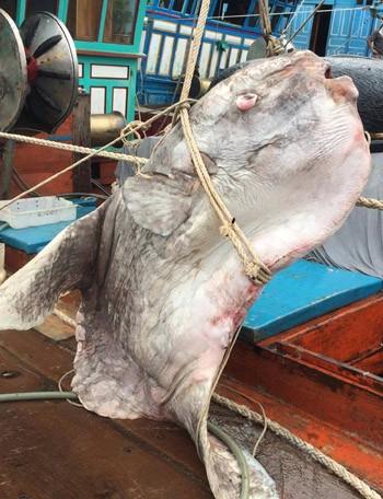 Ngư dân Nghệ An bắt được cá mặt trăng gần 1 tấn ảnh 1