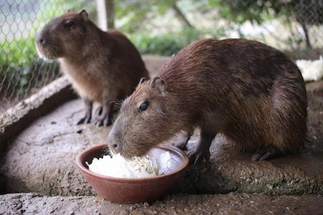 Hà Nội xuất hiện chuột khổng lồ nặng hơn 50 kg nuôi như nuôi lợn ảnh 3