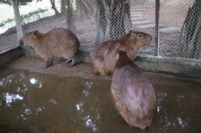 Hà Nội xuất hiện chuột khổng lồ nặng hơn 50 kg nuôi như nuôi lợn ảnh 4