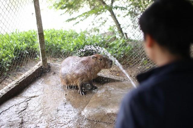 Hà Nội xuất hiện chuột khổng lồ nặng hơn 50 kg nuôi như nuôi lợn ảnh 6