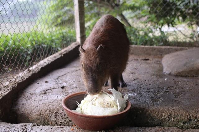 Hà Nội xuất hiện chuột khổng lồ nặng hơn 50 kg nuôi như nuôi lợn ảnh 7