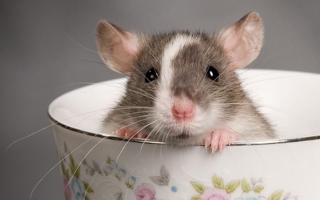 Những điều thú vị về chú chuột – loài vật đại diện của năm Canh Tý 2020 ảnh 2