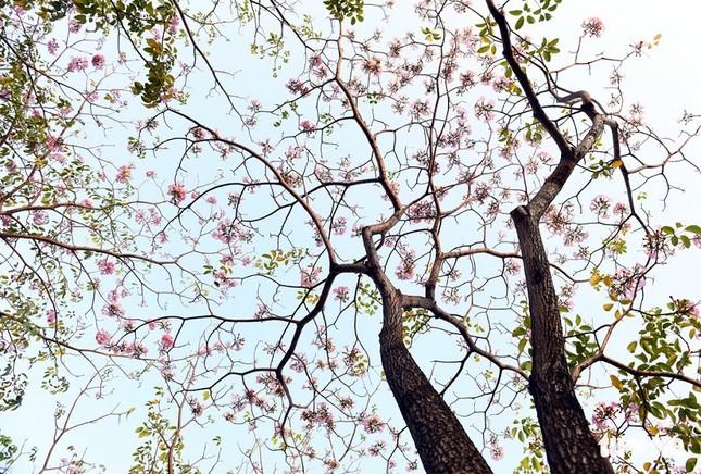 Kèn hồng ở Sóc Trăng nở rộ, đẹp xao xuyến tựa như phim Hàn Quốc ảnh 1