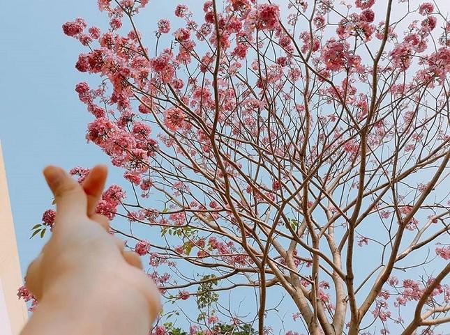 Kèn hồng ở Sóc Trăng nở rộ, đẹp xao xuyến tựa như phim Hàn Quốc ảnh 2