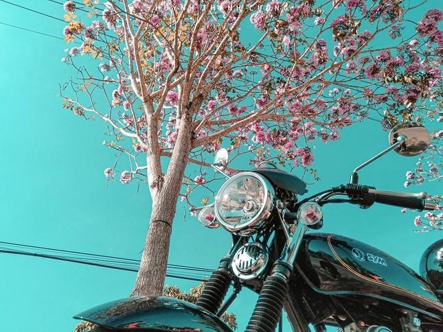 Kèn hồng ở Sóc Trăng nở rộ, đẹp xao xuyến tựa như phim Hàn Quốc ảnh 3