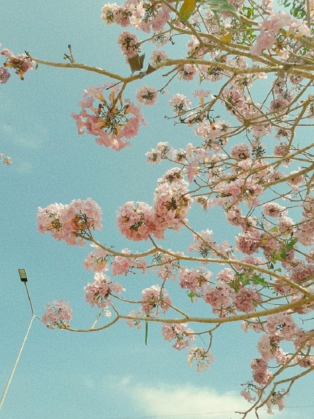 Kèn hồng ở Sóc Trăng nở rộ, đẹp xao xuyến tựa như phim Hàn Quốc ảnh 5