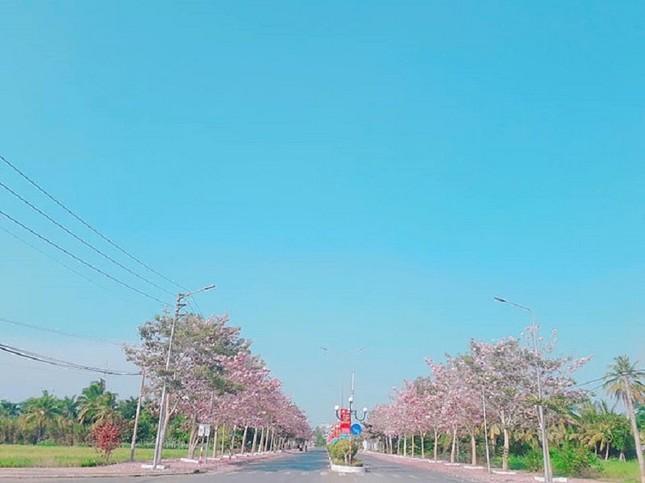 Kèn hồng ở Sóc Trăng nở rộ, đẹp xao xuyến tựa như phim Hàn Quốc ảnh 6