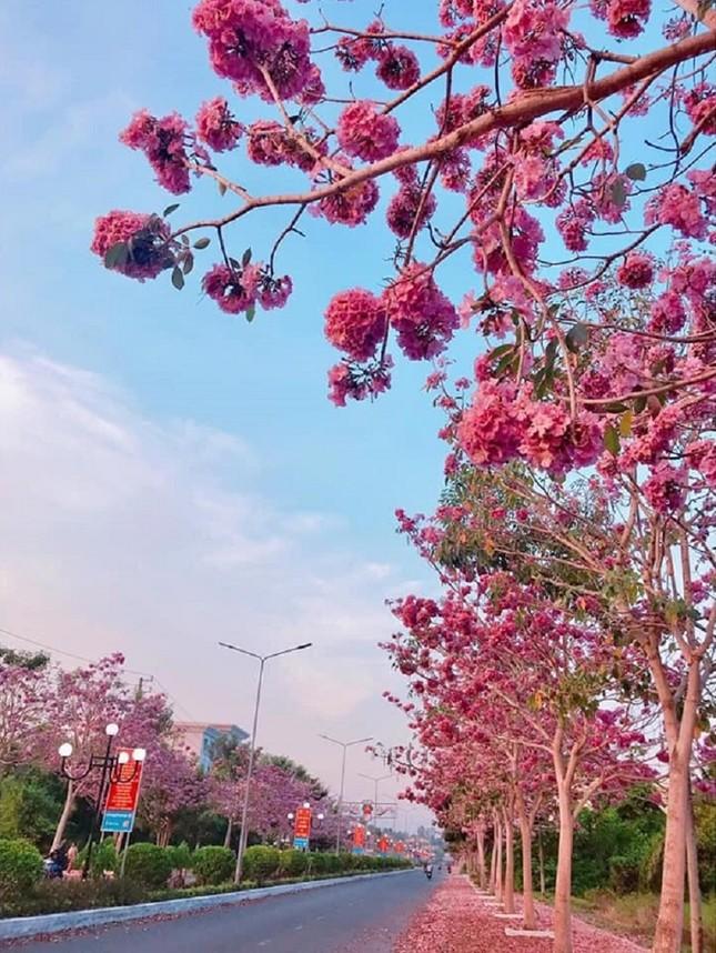 Kèn hồng ở Sóc Trăng nở rộ, đẹp xao xuyến tựa như phim Hàn Quốc ảnh 8