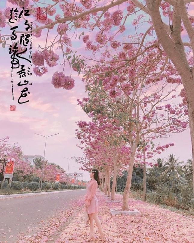 Kèn hồng ở Sóc Trăng nở rộ, đẹp xao xuyến tựa như phim Hàn Quốc ảnh 10