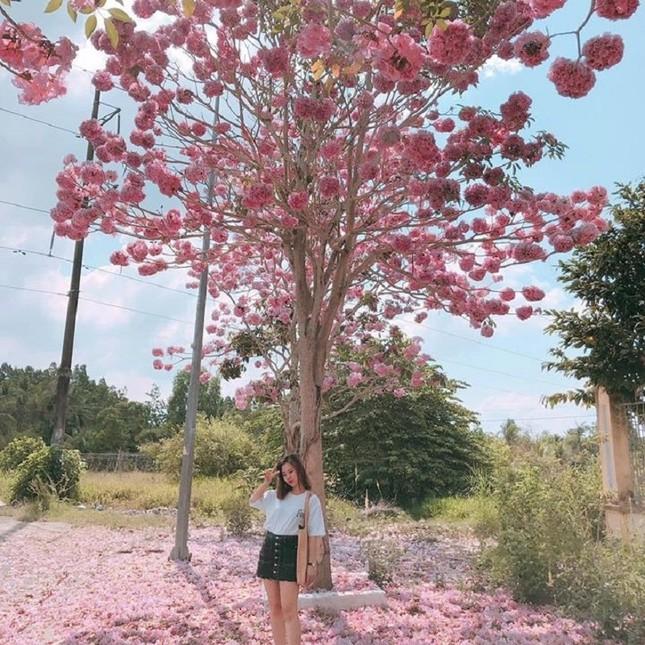 Kèn hồng ở Sóc Trăng nở rộ, đẹp xao xuyến tựa như phim Hàn Quốc ảnh 11