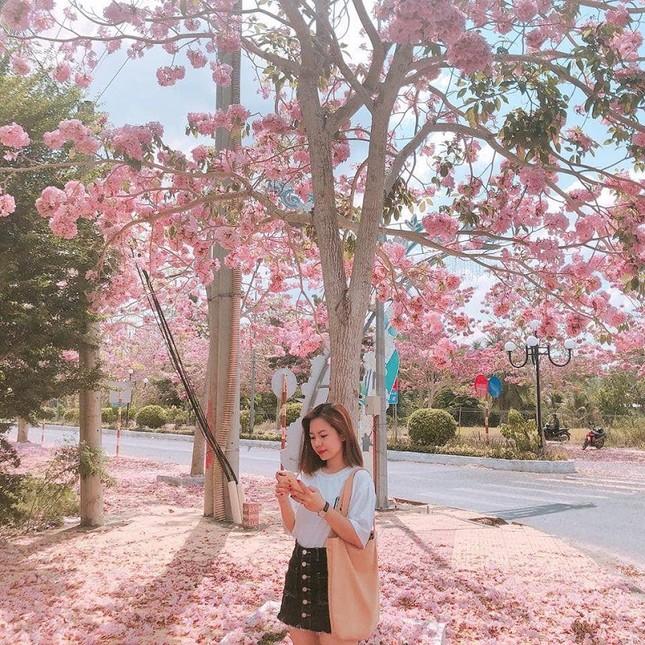 Kèn hồng ở Sóc Trăng nở rộ, đẹp xao xuyến tựa như phim Hàn Quốc ảnh 12