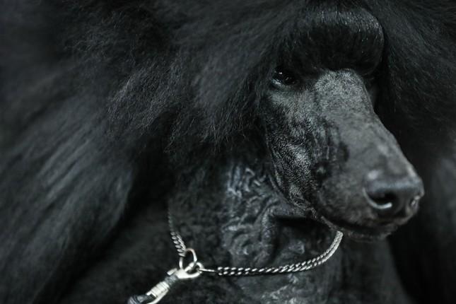 Hàng nghìn thú cưng tham dự cuộc thi chó thuần chủng thế giới ảnh 2