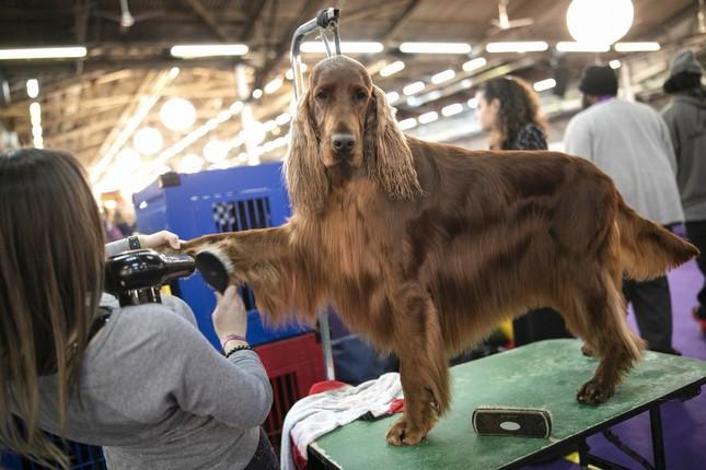 Hàng nghìn thú cưng tham dự cuộc thi chó thuần chủng thế giới ảnh 4