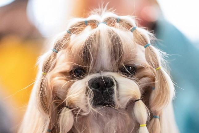 Hàng nghìn thú cưng tham dự cuộc thi chó thuần chủng thế giới ảnh 5