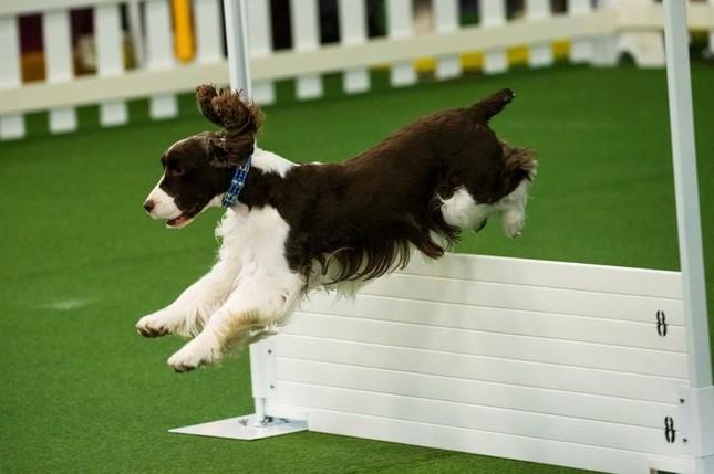 Hàng nghìn thú cưng tham dự cuộc thi chó thuần chủng thế giới ảnh 6