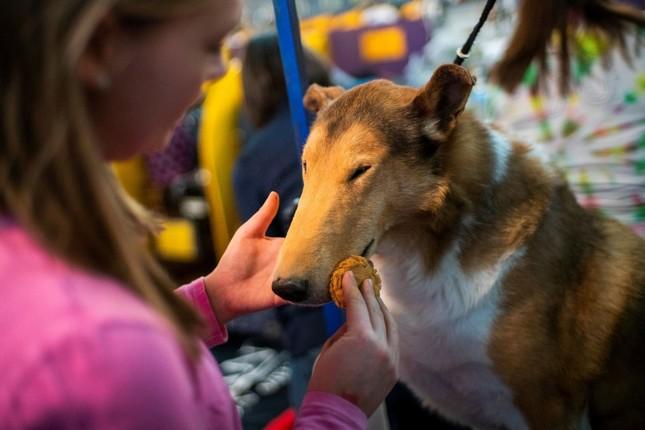 Hàng nghìn thú cưng tham dự cuộc thi chó thuần chủng thế giới ảnh 7
