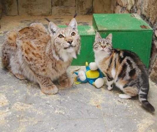 Linh miêu Linda và chú mèo hoang sống rất hòa thuận.