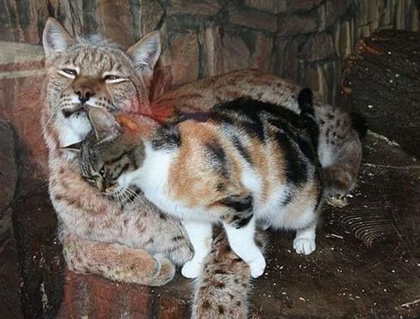 Vốn là một dã thú ăn thịt cực kỳ nguy hiểm, nhưng linh miêu lại rất yêu quý chú mèo hoang.