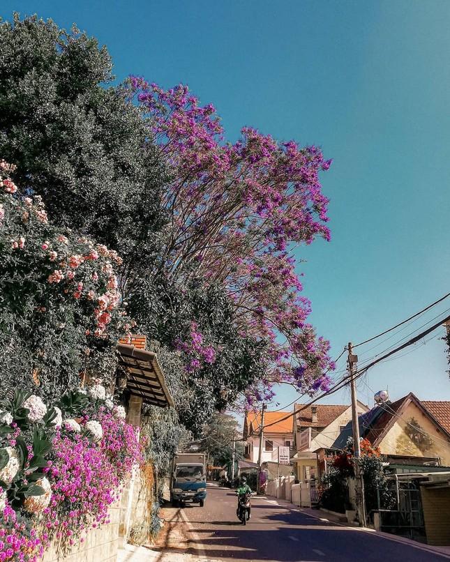 Còn chờ gì nữa mà chưa check-in Đà Lạt ngắm hoa phượng tím đẹp mơ màng ảnh 3