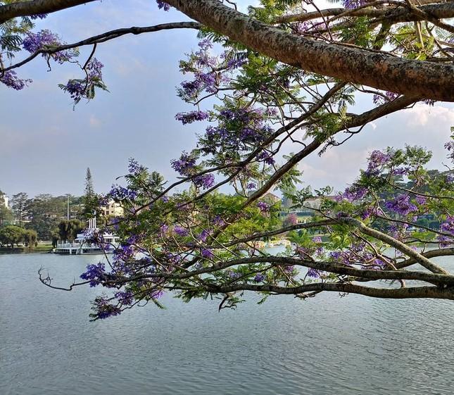 Còn chờ gì nữa mà chưa check-in Đà Lạt ngắm hoa phượng tím đẹp mơ màng ảnh 6