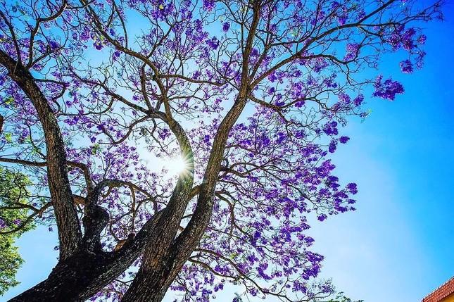 Còn chờ gì nữa mà chưa check-in Đà Lạt ngắm hoa phượng tím đẹp mơ màng ảnh 10
