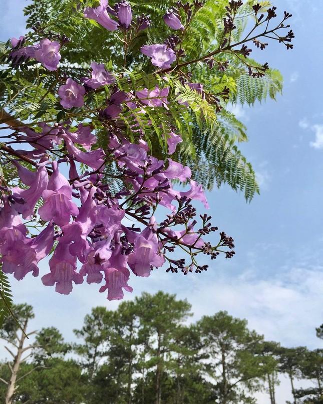 Còn chờ gì nữa mà chưa check-in Đà Lạt ngắm hoa phượng tím đẹp mơ màng ảnh 14