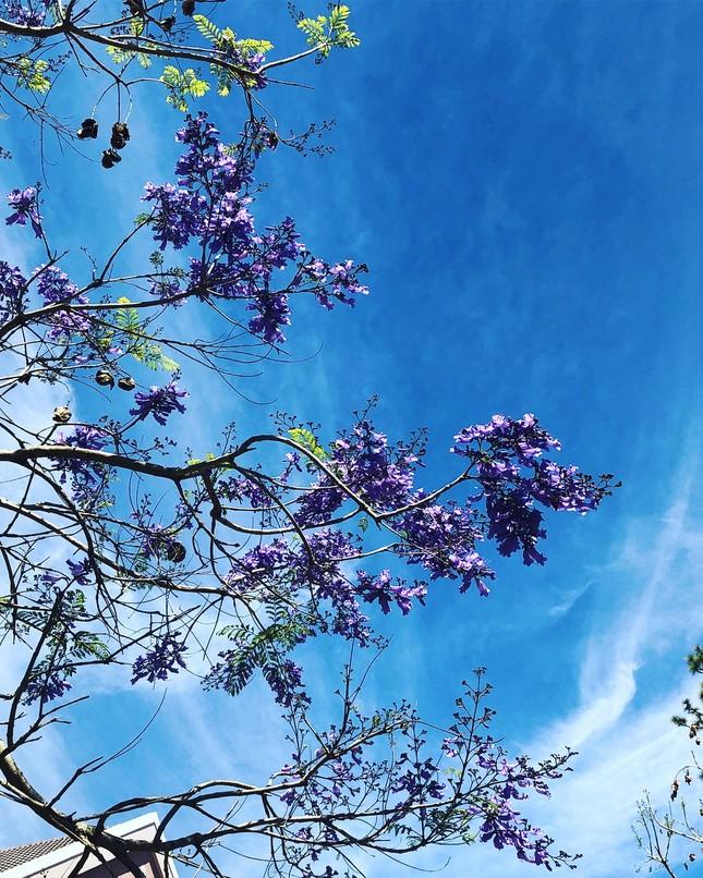 Còn chờ gì nữa mà chưa check-in Đà Lạt ngắm hoa phượng tím đẹp mơ màng ảnh 17