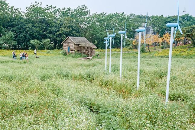 Vườn hoa Tam giác mạch trái mùa ngay tại Hà Nội