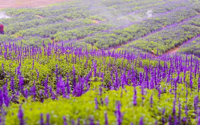 Giới trẻ chết mê với cánh đồng hoa Nữ hoàng xanh tại Hà Nội