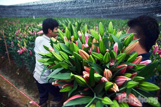 Người dân Tây Tựu 'khóc ròng' vì hoa ly nở trước Tết - ảnh 9