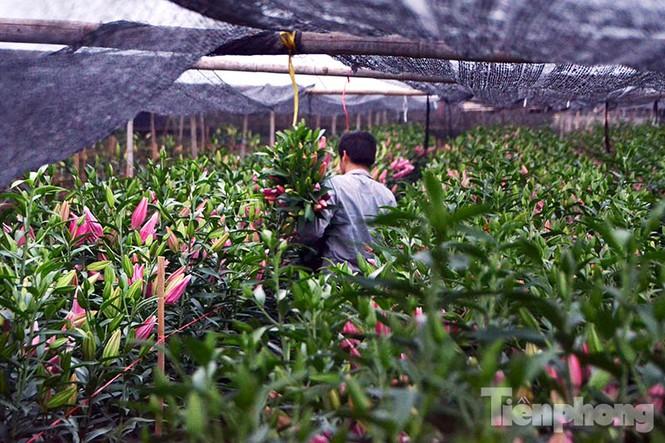 Người dân Tây Tựu 'khóc ròng' vì hoa ly nở trước Tết - ảnh 8