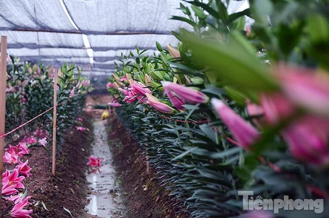 Người dân Tây Tựu 'khóc ròng' vì hoa ly nở trước Tết - ảnh 3