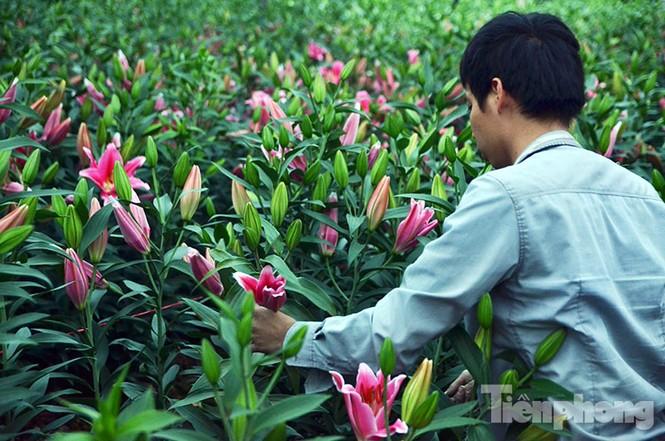 Người dân Tây Tựu 'khóc ròng' vì hoa ly nở trước Tết - ảnh 7