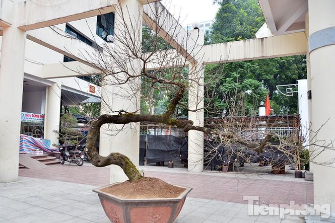 Mục sở thị đào thế 'rồng bay' quát giá hơn 600 triệu đồng - ảnh 3