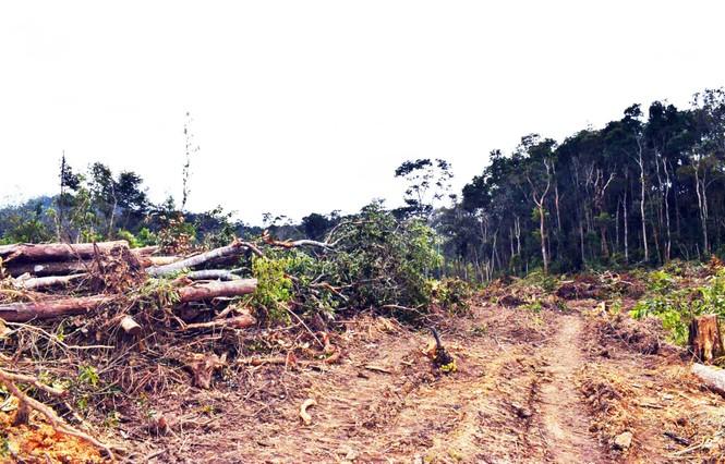 Khởi tố 3 đối tượng ngang nhiên mở đường, triệt hạ rừng bằng xe cơ giới  - ảnh 2