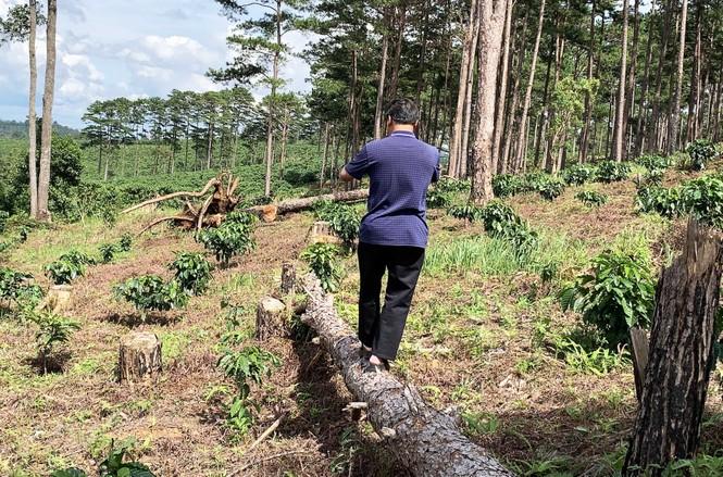Tận thấy cảnh 'lóc thịt', thiêu đốt rừng thông 30 năm tuổi ở Bảo Lâm - ảnh 4
