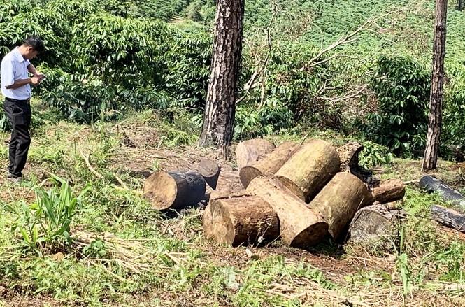Tận thấy cảnh 'lóc thịt', thiêu đốt rừng thông 30 năm tuổi ở Bảo Lâm - ảnh 5