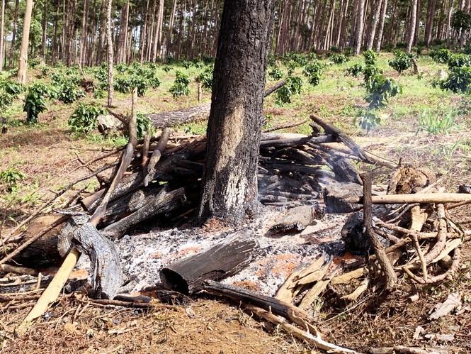 Tận thấy cảnh 'lóc thịt', thiêu đốt rừng thông 30 năm tuổi ở Bảo Lâm - ảnh 2