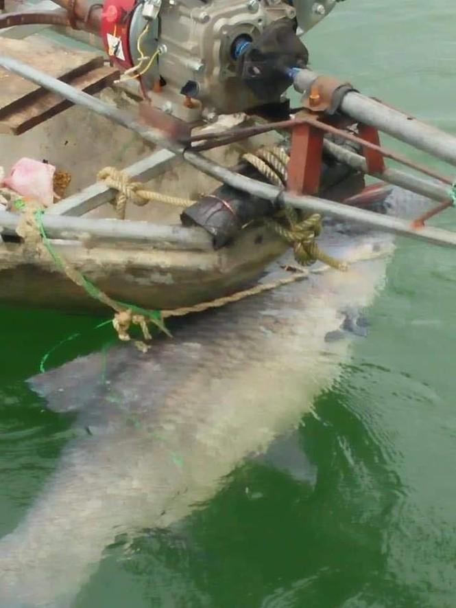 """Ngư dân hồ Thác Bà bắt được cá trắm đen """"khủng"""" 42kg - ảnh 2"""