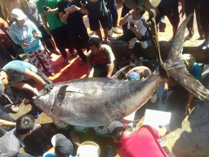 Bắt được cá ngừ vây vàng 'khủng' nhất ở Trường Sa - ảnh 1