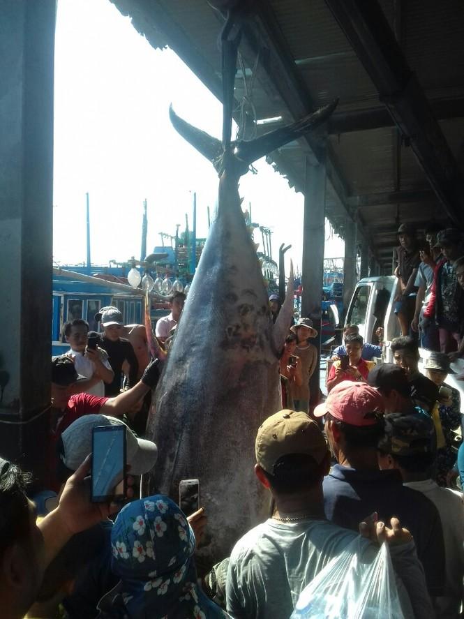 Bắt được cá ngừ vây vàng 'khủng' nhất ở Trường Sa - ảnh 2