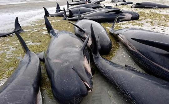 Kinh hãi phát hiện ít nhất 50 xác cá voi trên bờ biển vắng - ảnh 4