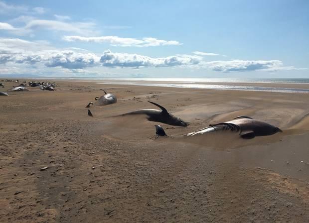 Kinh hãi phát hiện ít nhất 50 xác cá voi trên bờ biển vắng - ảnh 3