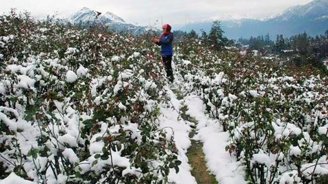Nghịch cảnh băng tuyết: Dân phượt reo hò, nông dân khóc - ảnh 3