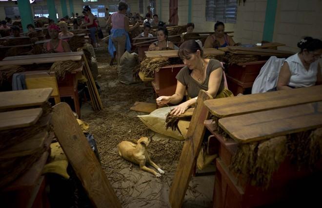Quy trình sản xuất xì gà cầu kỳ ở Cuba - ảnh 10