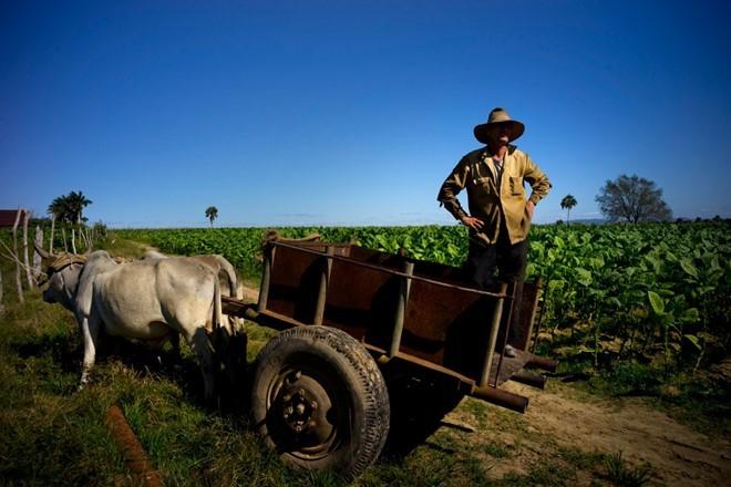 Quy trình sản xuất xì gà cầu kỳ ở Cuba - ảnh 13