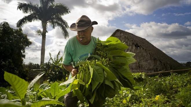 Quy trình sản xuất xì gà cầu kỳ ở Cuba - ảnh 1